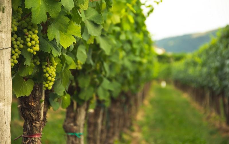 vine row length measurements
