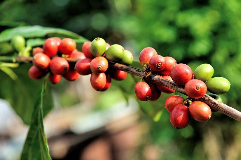 coffee species